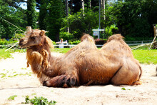 Camels In The Welsh Mountain Zoo