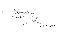 Flying Birds. Vector Images. White Backgorund.