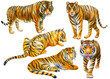 Set tiger on an isolated white background. Wild animal, Watercolor illustration.