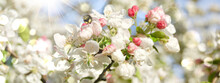 Apple Tree With Blossom And Bumblebee - Spring Background Banner With Bokeh Light
