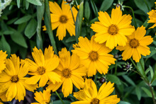 "Yellow Coreopsis Largeflower Tickseed ""Christchurch"" In Trauttmansdorff Botanical Garden In Merano, Trentino Alto Adige Südtirol, Italy, Europe"