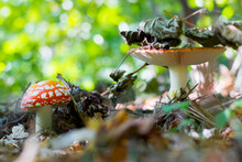 Red Fly Agaric, Autumn Forest. Beautiful Mushrooms With Spotted Caps. Colorful Fly Agarics Under The Leaves In The Woods. Autumn Mood, Dry Leaves, Natural Background, Close-up