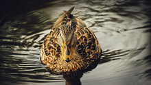 Spotted Duck Swims In The Water Close-up On A Dark Background