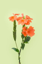 Orange Crossandra Flower, Also Known As Firecracker Flower, Native To India And Sri Lanka Decorative Flower Isolated On A Light Green Background