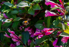 A Bee Is Gathering Honey Among The Flowers