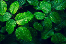 Green Leaves With A Lot Of Raindrops