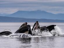 Humpback Whales Cooperative Bubble Feeding, In Warm Springs, Alaska, (Megaptera Novaeangliae) Image Made Under NMFS Permit 19703.