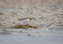 Tiny Shorebird, The Sanderling, Dashes On The Sea's Edge For Food