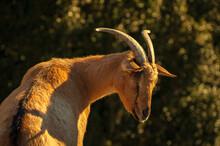 Domestic Goats (Capra Aegagrus Hircus) In The Bellmunt Sanctuary (Osona, Barcelona, Catalonia, Pyrenees, Spain)