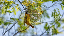 Southern Masked Weaver (Ploceus Velatus) Building A Nest In A Tree In A Backyard In Pretoria, South Africa