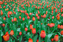 Bright Red Flowers Of Tulips Blooming In A Garden On A Sunny Spring Day With Natural Lit By Sunlight. Beautiful Fresh Nature Floral Pattern.