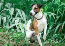 Smooth Fox Terrier Sitting In A Grass