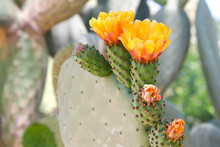 Profile View Of  Prickly Pear Cacti Fruit With Vibrant Orange Flowers Blooming. Green Prickly Pear Fruit Under The Flowers.
