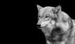 Black And White Eurasian Wolf Closeup Face
