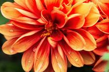 Blüte Einer Dahlie, Komplett Scharf Abgebildet