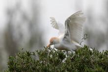 Héron Garde-boeuf Bubulcus Ibis En Camargue Perché Ou Dans Un Arbe
