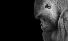 Black And White Gorilla Closeup Face In The Black Background
