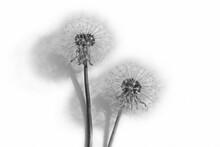 Fluffy Dandelion On A White Background.Black And White Photo.Minimalism.