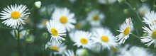 Seasonal Sale Website Banner With Blooming Summer Daisies. Summer Meadow With Chamomile Flowers. Green Nature Spring Flower Blurred Background. Alternative Medicine, Cottage Core Natural Philosophy