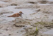Killdeer Walking In The Wetlands