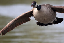 Canada Goose Chicks And Male Adult Flying Very Close Honking Steadily At Lake In Summer