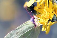 Macro Of Gonepteryx Rhamni (brimstone) Butterfly On Yellow Flower