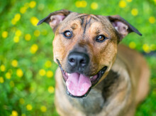 A Brown Terrier Mixed Breed Dog Sitting Among Buttercups, Looking Up At The Camera With A Happy Expression