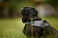 Portrait Of An Adorable Black Pug Dog On A Leash In A Park With A Blurry Background