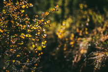 Golden Leaves In Sunshine On Background Of Autumn Forest Bokeh. Minimalist Nature Backdrop With Sunlit Yellow Foliage In Fall Time. Scenic Minimalism In Autumn Colors. Orange Leaves In Fall Colors.