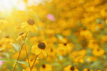 Field Of Black-eyed Susan On Sunny Day. Summer Wildflowers Close-up. Flower With Yellow Petals And Black Core.