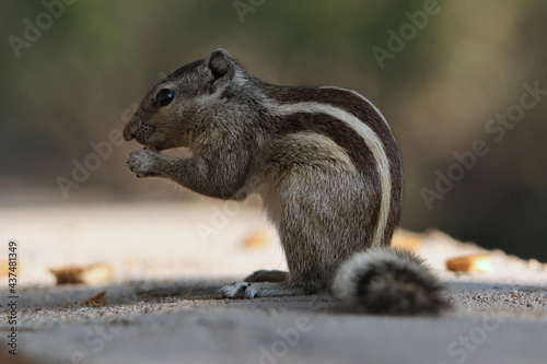 Fotografia, Obraz Portrait of an adorable gray chipmunk eating while standing on hind legs on the
