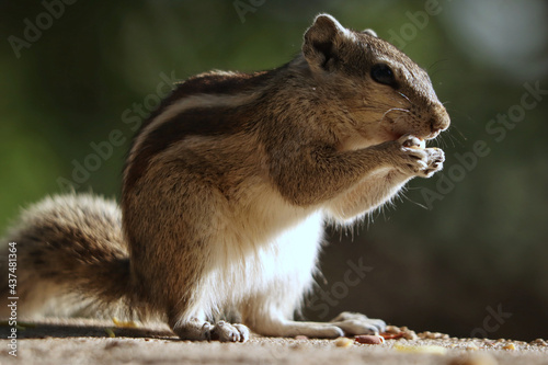Obraz na plátne Portrait of an adorable gray chipmunk eating while standing on hind legs on the