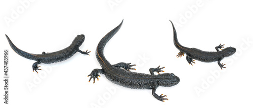Fotografie, Obraz Three black newt lizards isolated on a white background.