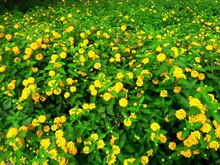Yellow Lantana Camara Flower Clusters