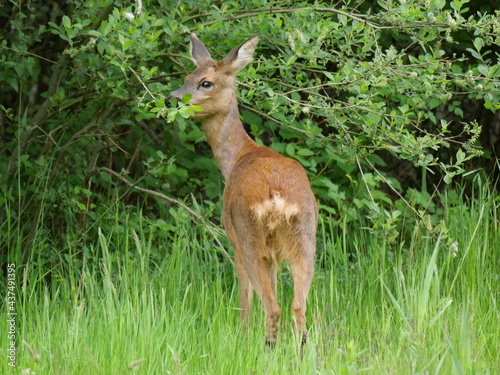 Fotografie, Obraz Roe deer. Always again impressive and powerful