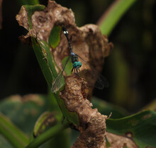 Dragonfly Known As Tropical Dashers (Micrathyria)