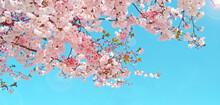 Beautiful Pink Sakura Flower And Blue Sky, Wide Frame Background, Cherry Blossom