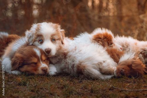 Fotografie, Obraz Australian Shepherd Welpen