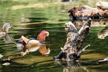 Closeup Shot Of A Mandarin Duck Swimming In A Pond Under Sunlight