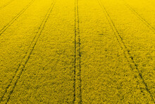 Rapeseed Or Canola Field. Bio Fuel Or Bio Oil Agriculture.