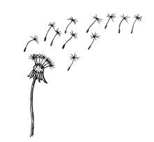 Flying Dandelion Seeds, Vector Illustration. Vector Dandelion Blowing Silhouette. Flying Blow Dandelion Buds Black Outdoor Decoration On White.