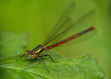 Pyrrhosoma Nymphula, Large Red Damselfly On Leaf, UK, Wings Outstretched. Narrow Depth Of Field.