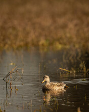 Gadwall Or Mareca Strepera In Early Morning With Reflection In Shallow Water At Wetland Of Keoladeo National Park Or Bharatpur Bird Sanctuary Rajasthan India