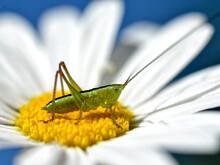 Macro Conehead Cricket On Daisy Flower (genus Conocephalus)