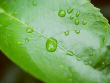Water Droplets On Green Leaves After Rain.