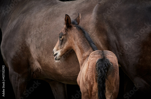 Foto Close-up of a brown thoroughbred filly foal standing close to mare isolated on black background