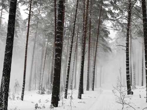 Fotografia Snowstorm in harsh winter in a pine forest