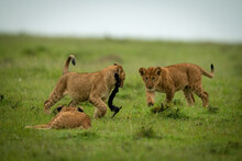 Lion Cub Chases Another Carrying Stick Around