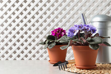 Beautiful Potted Violets And Gardening Tools On Light Grey Table, Space For Text. Delicate House Plants