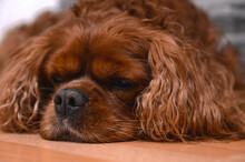A Brown Cavalier King Charles Spaniel Dog Lying On The Ground